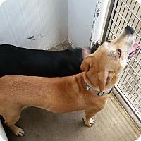 Adopt A Pet :: Lexus - Chippewa Falls, WI