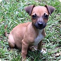 Miniature Pinscher Mix Dog for adoption in West Palm Beach, Florida - Nicky