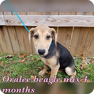 Beagle Mix Dog for adoption in Pomfret, Connecticut - ORALEE