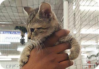 Domestic Shorthair Kitten for adoption in Raleigh, North Carolina - Chestnut Praline