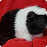Adopt A Pet :: OREO JR - Urbana, IL