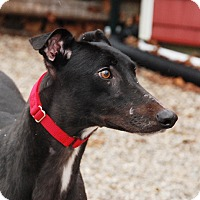 Adopt A Pet :: Siren - Ware, MA