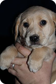 Golden Retriever Mix Puppy for adoption in Wytheville, Virginia - Carrie Underwood