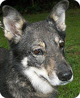 Husky/Shepherd (Unknown Type) Mix Dog for adoption in Mtn Grove, Missouri - Laika