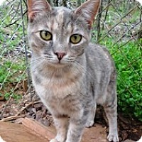 Domestic Shorthair Cat for adoption in Stuart, Virginia - June Bug