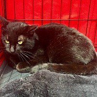 Domestic Shorthair Cat for adoption in Summerville, South Carolina - Midnight