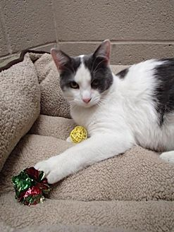 Domestic Shorthair Cat for adoption in Lima, Ohio - Chip Goff