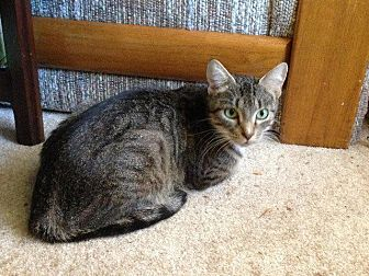 Domestic Shorthair Cat for adoption in St. Louis, Missouri - Shannon