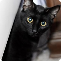 Domestic Shorthair Cat for adoption in Frankfort, Illinois - Jake