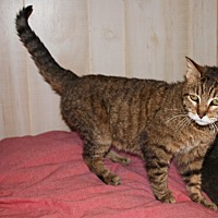 Hemingway/Polydactyl Cat for adoption in Jackson, Mississippi - Tabby