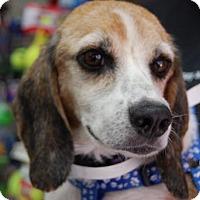 Adopt A Pet :: Violet - Brooklyn, NY