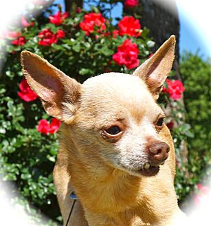Chihuahua Dog for adoption in Blanchard, Oklahoma - Jack Sparrow