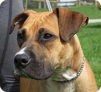 Boxer Mix Dog for adoption in Unionville, Pennsylvania - Sugar Ray