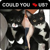 Adopt A Pet :: Loving Kitten FLEUR & MOON'16 - New York, NY