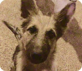 German Shepherd Dog Mix Puppy for adoption in Houston, Texas - Kirk