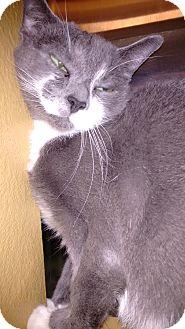 Domestic Shorthair Cat for adoption in Morganton, North Carolina - Katt
