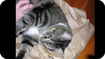 Domestic Shorthair Cat for adoption in Acushnet, Massachusetts - Gravy