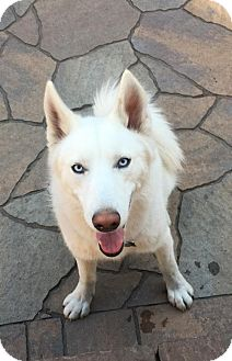 Siberian Husky Dog for adoption in Monument, Colorado - Rufus - Adoption Pending!