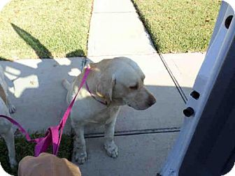 Labrador Retriever Dog for adoption in Pearland, Texas - GUSGUS