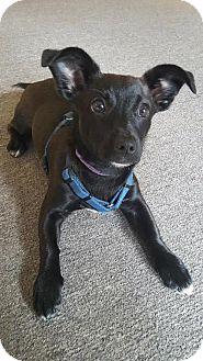 Jack Russell Terrier Mix Dog for adoption in Methuen, Massachusetts - SKY