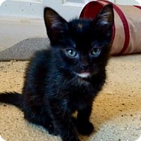 Domestic Shorthair Kitten for adoption in Columbia, South Carolina - Sierra