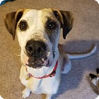 Adopt A Pet :: Rose - Richardson, TX