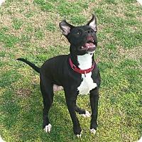 Adopt A Pet :: Aster - Austin, TX