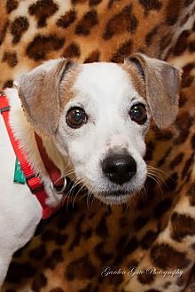 Jack Russell Terrier Dog for adoption in Elizabethtown, Pennsylvania - Peanut the Princess