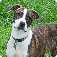 Adopt A Pet :: Alida ADOPTION PENDING - Elmwood Park, NJ
