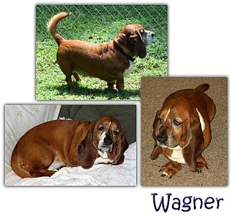 Basset Hound Dog for adoption in Marietta, Georgia - Wagner
