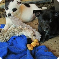 Adopt A Pet :: Braxton - Williston Park, NY