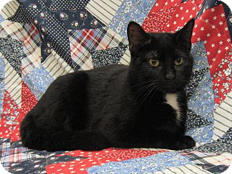 Domestic Shorthair Cat for adoption in Redwood Falls, Minnesota - Evee