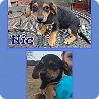 Adopt A Pet :: Nic Pending Adoption - Manchester, CT