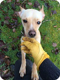 Chihuahua Mix Dog for adoption in Surrey, British Columbia - Clark
