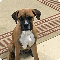 Adopt A Pet :: Jonas - Westminster, MD
