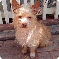 Adopt A Pet :: Popcorn (BH) - Santa Ana, CA