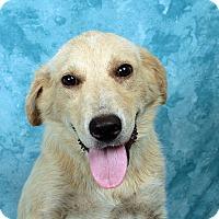 Adopt A Pet :: Garrett Retriever Collie - St. Louis, MO