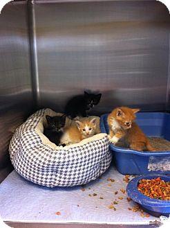 Domestic Shorthair Kitten for adoption in Oviedo, Florida - Kittens assortment (WG)
