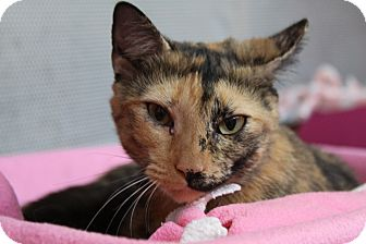 Domestic Shorthair Cat for adoption in Sarasota, Florida - Isabella