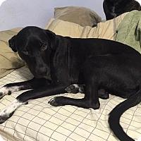 Labrador Retriever Mix Dog for adoption in Austin, Texas - Tina
