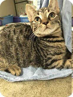 Domestic Shorthair Cat for adoption in Manteo, North Carolina - Blush
