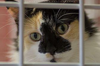 Calico Cat for adoption in Houston, Texas - PRISCILLA