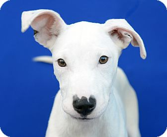Terrier (Unknown Type, Small)/American Staffordshire Terrier Mix Puppy for adoption in LAFAYETTE, Louisiana - KIMBA