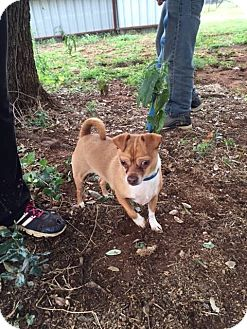 Chihuahua Mix Dog for adoption in Marble Falls, Texas - Ryder