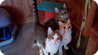 Domestic Shorthair Cat for adoption in Monterey, Virginia - Jack