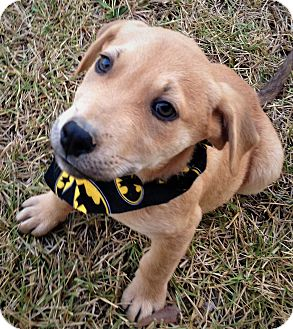 Labrador Retriever/Retriever (Unknown Type) Mix Puppy for adoption in Brattleboro, Vermont - Marco ~ ADOPTED!