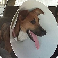 Collie Mix Puppy for adoption in cupertino, California - Gertrudis -- ARRIVES DEC 3RD