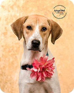 Labrador Retriever/Harrier Mix Dog for adoption in Cincinnati, Ohio - Cass