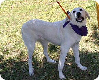 Great Pyrenees Dog for adoption in Sugarland, Texas - Pamela *video