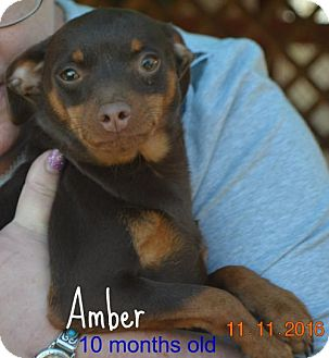 Miniature Pinscher Mix Puppy for adoption in Yreka, California - Amber